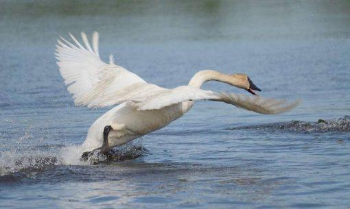 natur-lagun-ucce-cigno_pix
