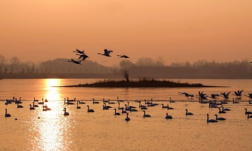 Labute v lagúne Grado